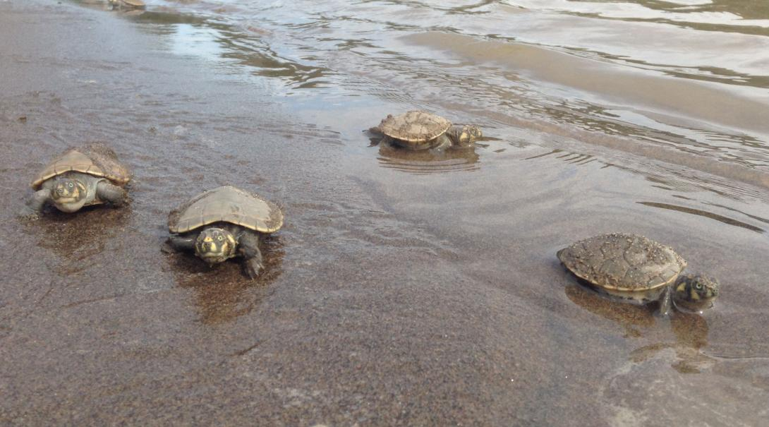 Projects Abroad volunteers release turtles into the ocean as part of their Amazon Rainforest Conservation Project.